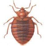 Bedbug, male