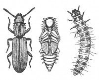 Adult, pupa and larva of the saw-toothed grain beetle