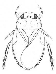 Saucer bug