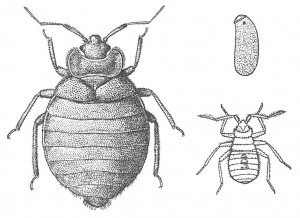Bed bug as adult