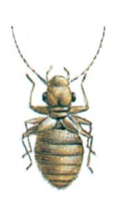 Booklice, Psocoptera