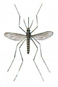 Common gnat