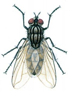 Stable or Biting housefly