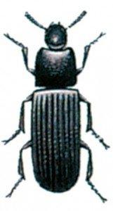 Dark flour beetle