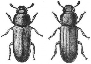 Difference between the rust-red flour beetle and the confused flour beetle