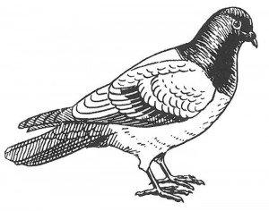 Domestic pigeon