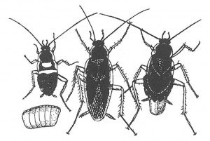Egg, offspring and adult brown-banded cockroaches