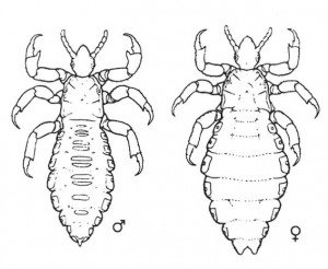 Fig 4. Head lice, male and female. (Grundy)