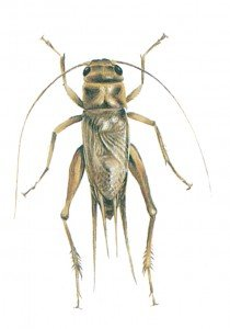 House cricket, Acheta domestica