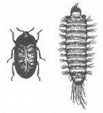 Khapra beetle, adult and larva
