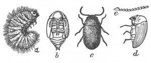 Larva, pupa and full-grown cigarette beetle