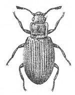 Lathridius minutus, squarenosed fungus beetle