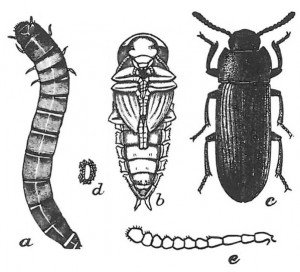 Mealworm beetle from pupa until full grown