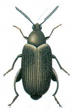 Merchant grain beetle