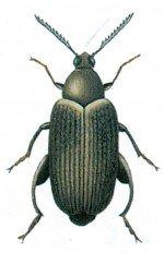 Merchant grain beetle