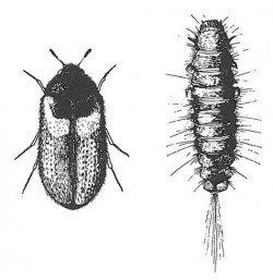 Reesa vespulae, adult and larva.