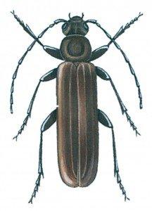 Criocephalus rusticus