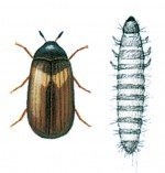 Skin beetle and larva