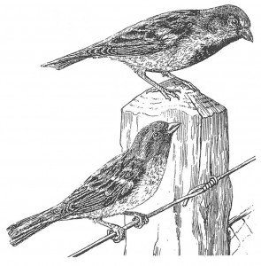 Sparrow, male and female