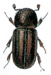 Trypodendron