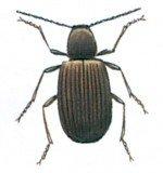 The Australian spider beetle