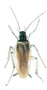 The brown-banded cockroach