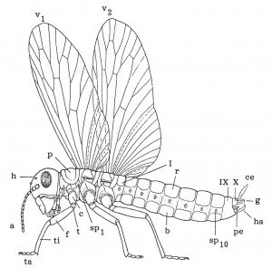 The built of winged insects