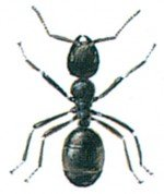 The common black ant