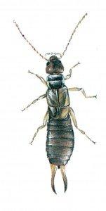 The common earwig