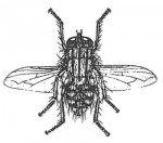 The grey fleshfly