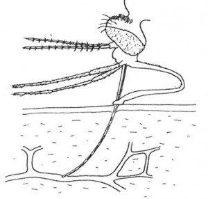 The mosquito probiscis