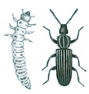 The saw-toothed grain beetle