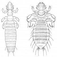 Gliricola Porcelli and Gyropus ovalis