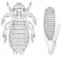 The fur louse