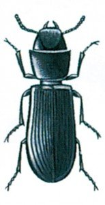 Cadelle, Tenebroides mauretanicus