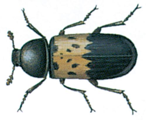 Bacon beetle / larder beetle