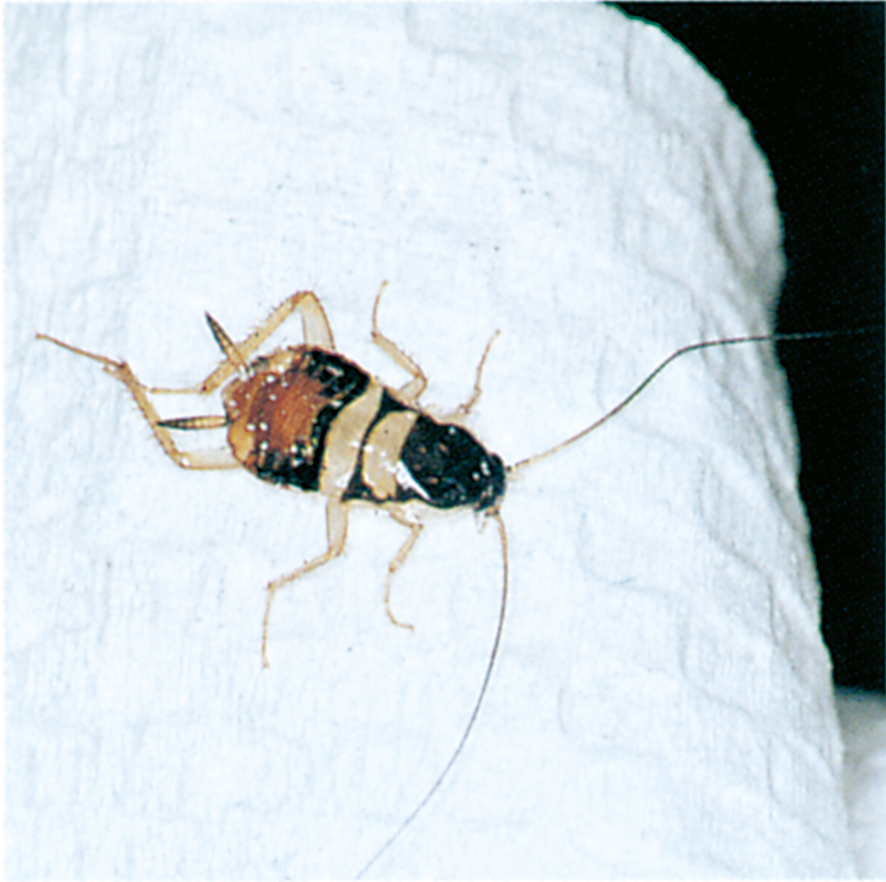 Brown-banded cockroach nymph