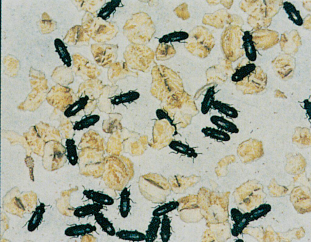 Dark flour beetles in oatmeal
