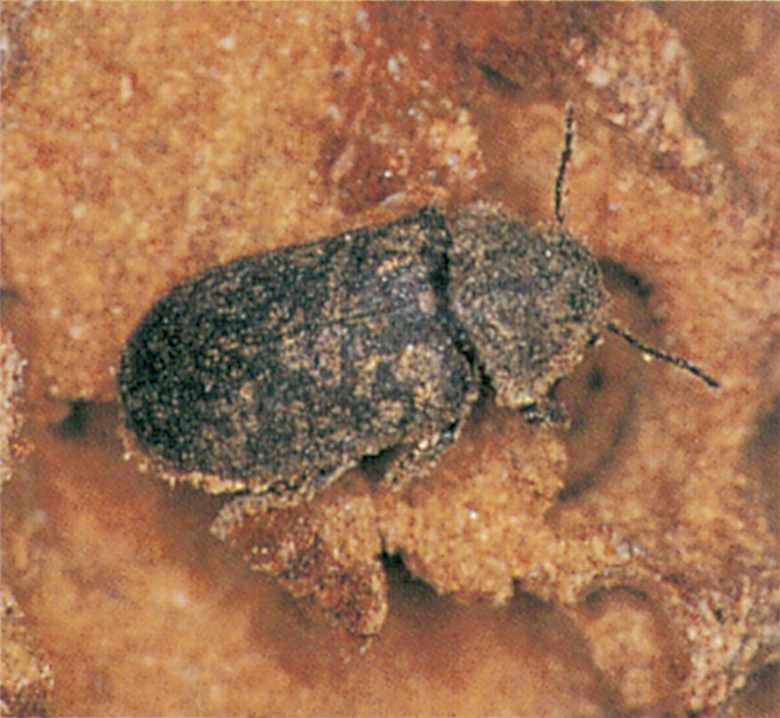 Death-watch beetle in oak wood