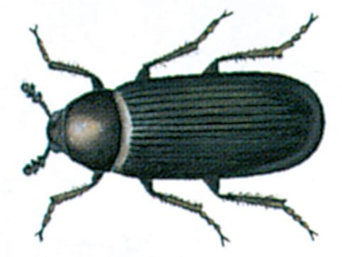 Dermestes haemorrhoidalis beetle