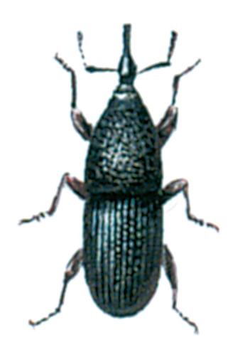 Grain weevil