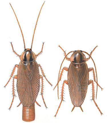 Grown German cockroach