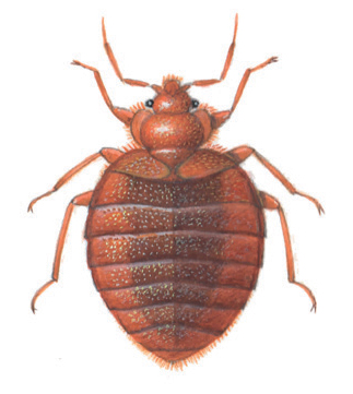 Grown bed bug 5,5mm - Pests in House and Home - Page 50