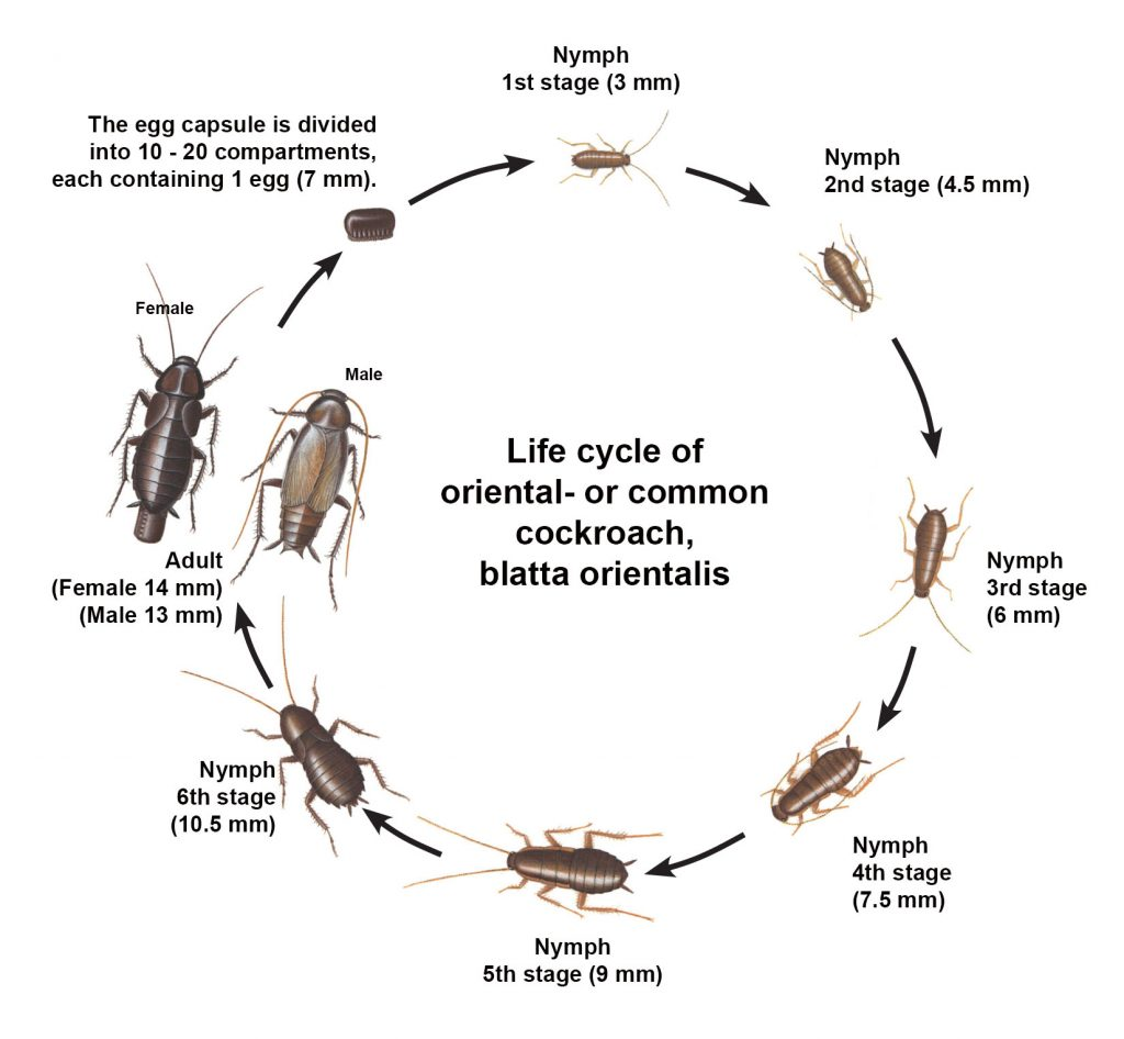 Life cycle of common cockroach - oriental cockroach
