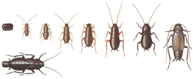 Oriental cockroach, development