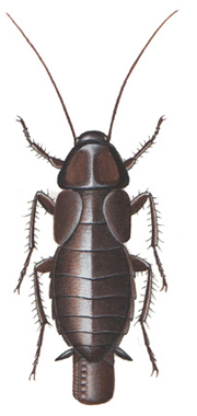 Oriental- or common cockroach, female