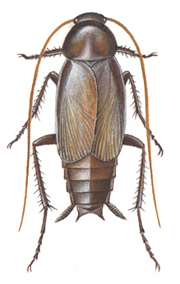 Oriental- or common cockroach, male