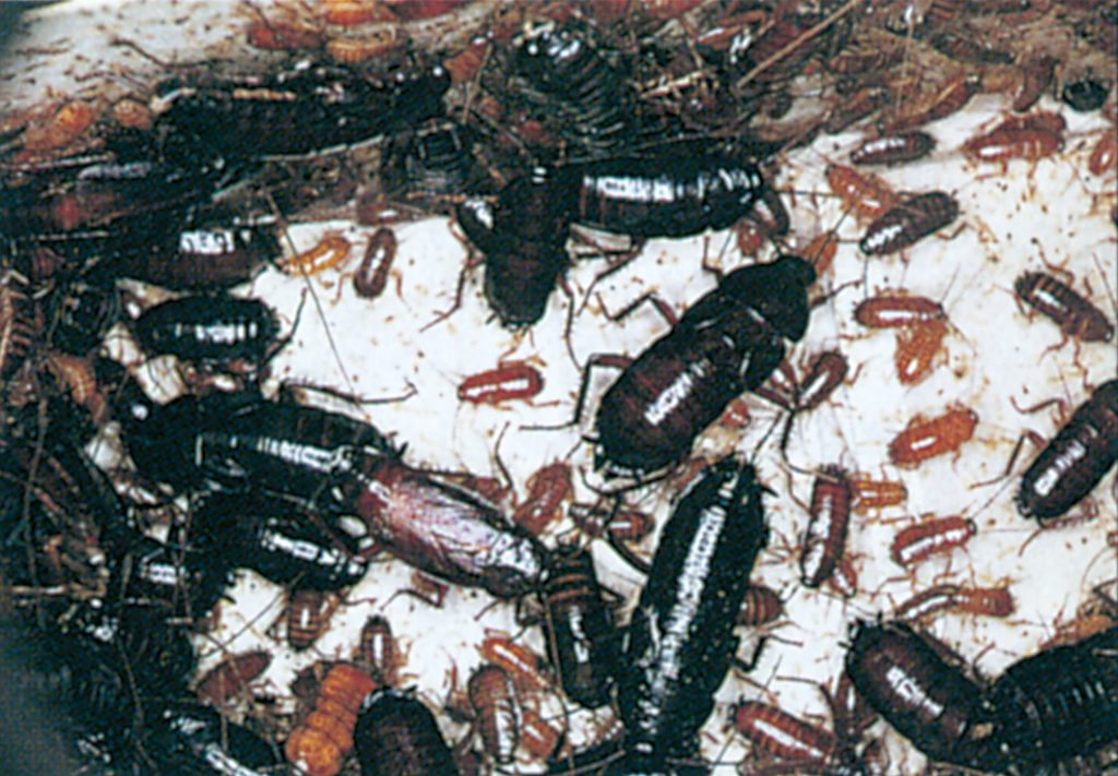 Oriental cockroaches, adults and nymphs