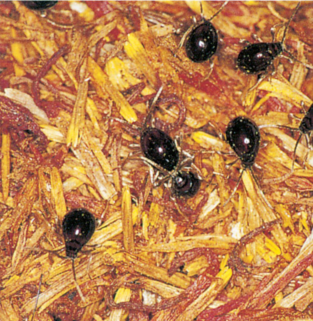 Shiny spider beetles in saffron