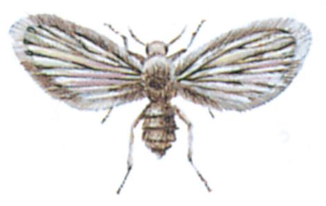 Bathroom fly - Moth fly